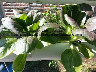 Budidaya Sayur Pakchoi secara Hidroponik Organik