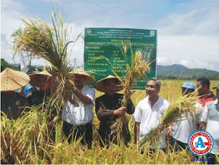 Walikota Panen Raya Padi Varietas Impari 13 di Jatiwangi