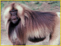 Monkey Theropithecus gelada pictures