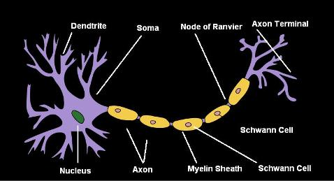 Draw a labeled diagram of a neuron cbse master ncert textbooks draw a labeled diagram of a neuron ccuart Gallery