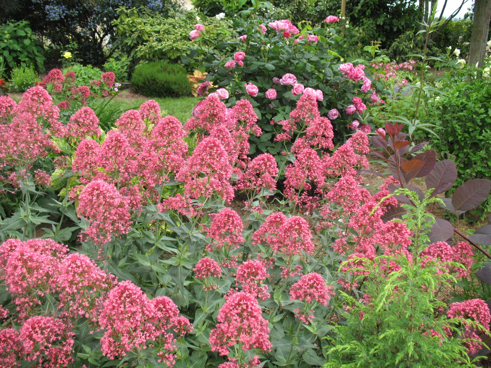 Roses du jardin ch neland val riane centranthus ruber for Parterre de roses photos