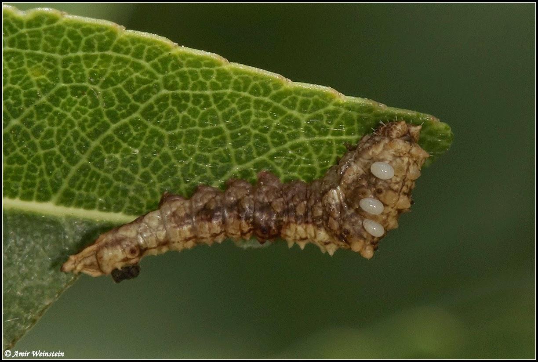 Cilix asiatica