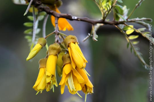One of my brighter moments - The beautiful Kowhai (which means 'yellow' in Maori) photograph