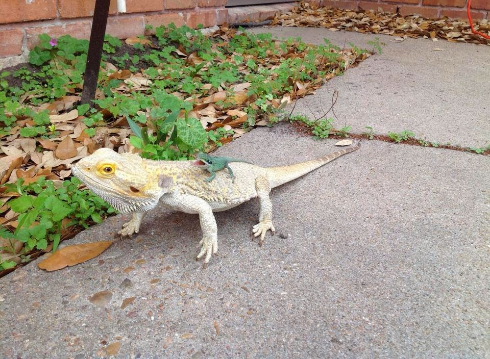 Funny animals of the week - 28 March 2014 (40 pics), tiny lizard rides big lizard