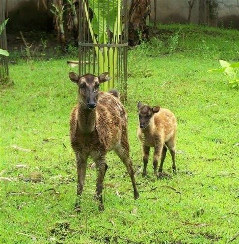image source captive breeding of philippine spotted deer in nfefi ...