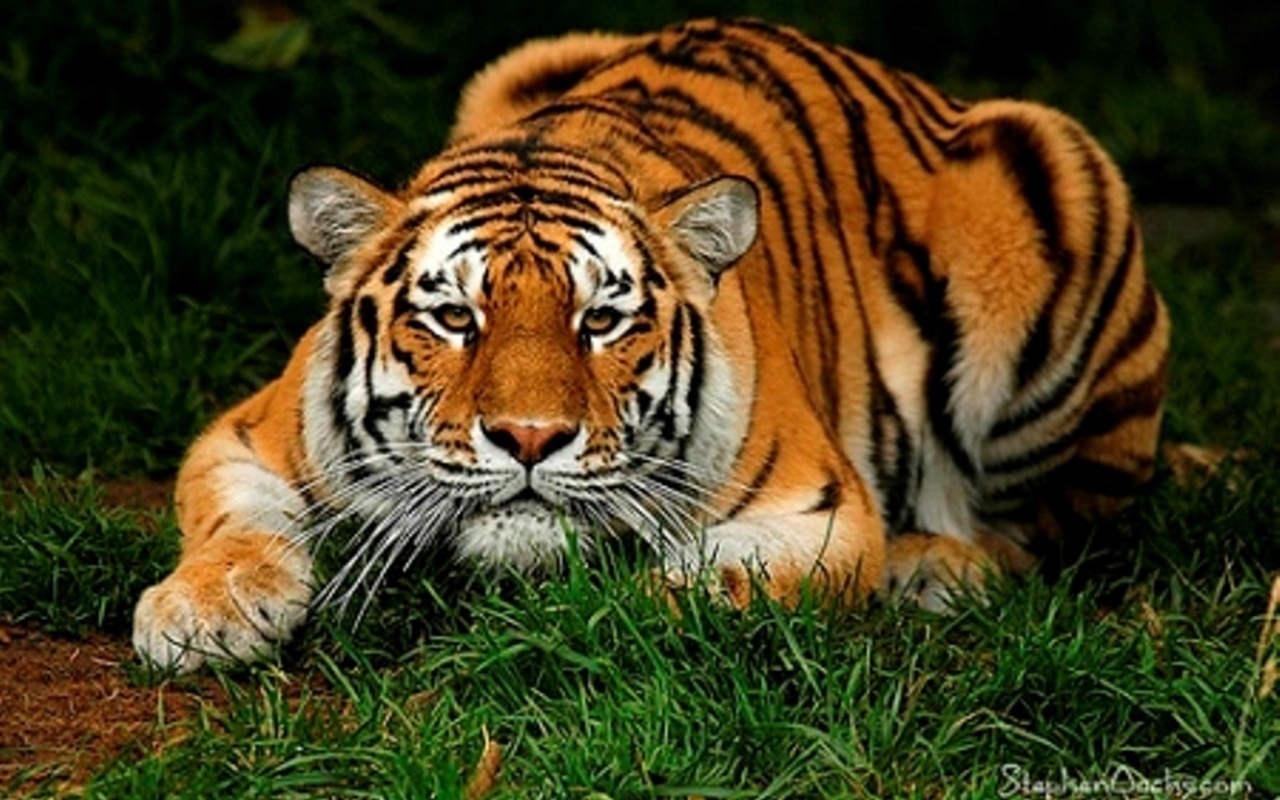 pictures top 10 tiger tiger wallpaper top ten wild animal. Black Bedroom Furniture Sets. Home Design Ideas