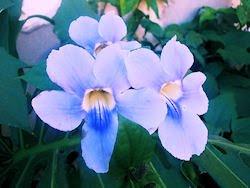 Flores - Enredadera de trompeta azul - Tumbergia azul