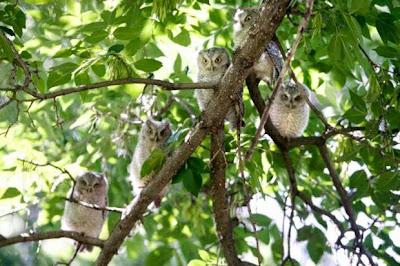 Eastern Screech Owlets in Montana