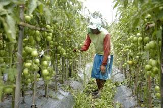 http://4.bp.blogspot.com/-Kfo53XdXSto/UZBWcMtDUeI/AAAAAAAAAGw/siE3tUoaBcM/s320/tomato+plants+care.jpg