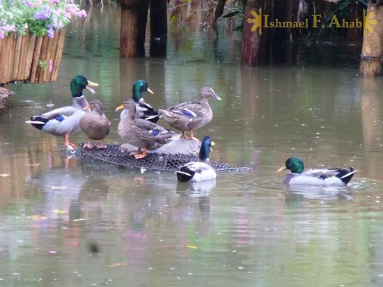 Ducks at the Doi Tung Royal Villa