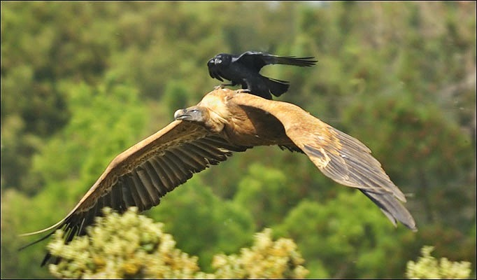 Funny animals of the week - 5 April 2014 (40 pics), crow rides on eagle back