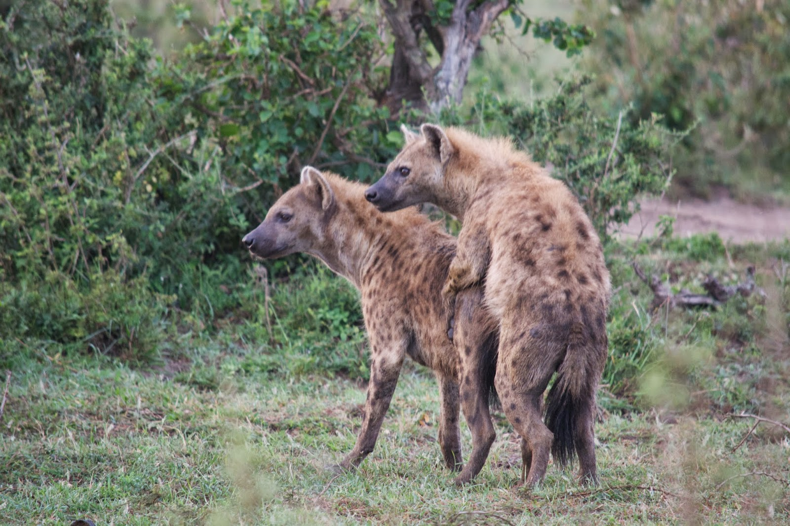 Male hyena approaches - mikedexter.commikedexter.com
