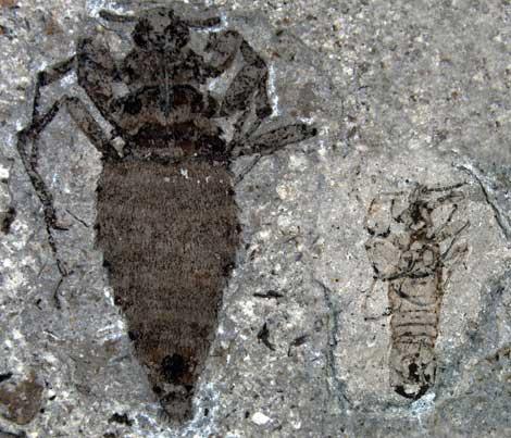 """""""Pauline avibella"""": ¿Tejido blando en un animal de 450 millones de años? Pulgas+1"""