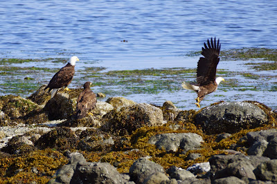 bald eagle family on beach