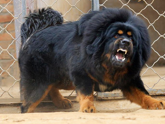 most-expensive-dog-Tibetan-Mastiff.jpg