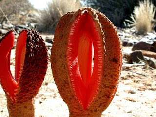 Hydnora Africana Tumbuhan Moster yang Lanka