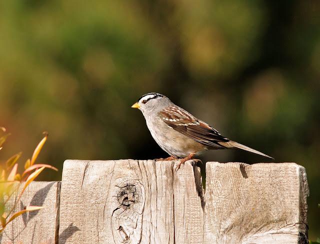 RichS Backyard Birds : Barbara Rich Photography Backyard Birding in Chico California