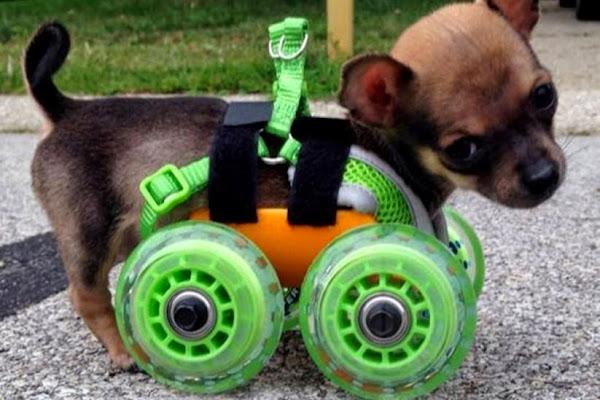 Perrito sin patas delanteras le imprimen una silla de ruedas en 3D