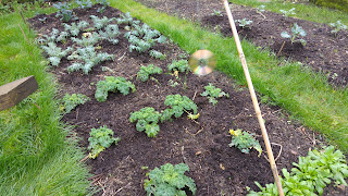 Compost from potato containers around brassica plants