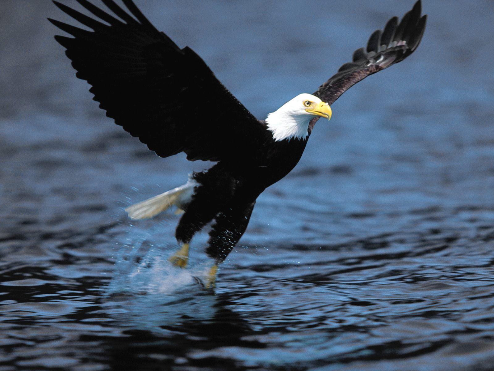 Must see   Wallpaper Horse Eagle - Screaming-Eagle+02  Photograph_18522.jpg