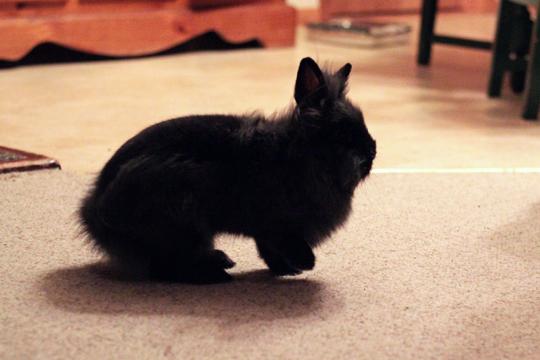 black lionhead bunny