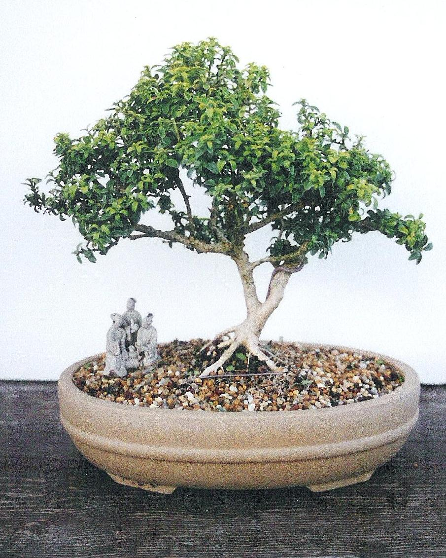 Bonsai Beginnings Kingsville Dwarf