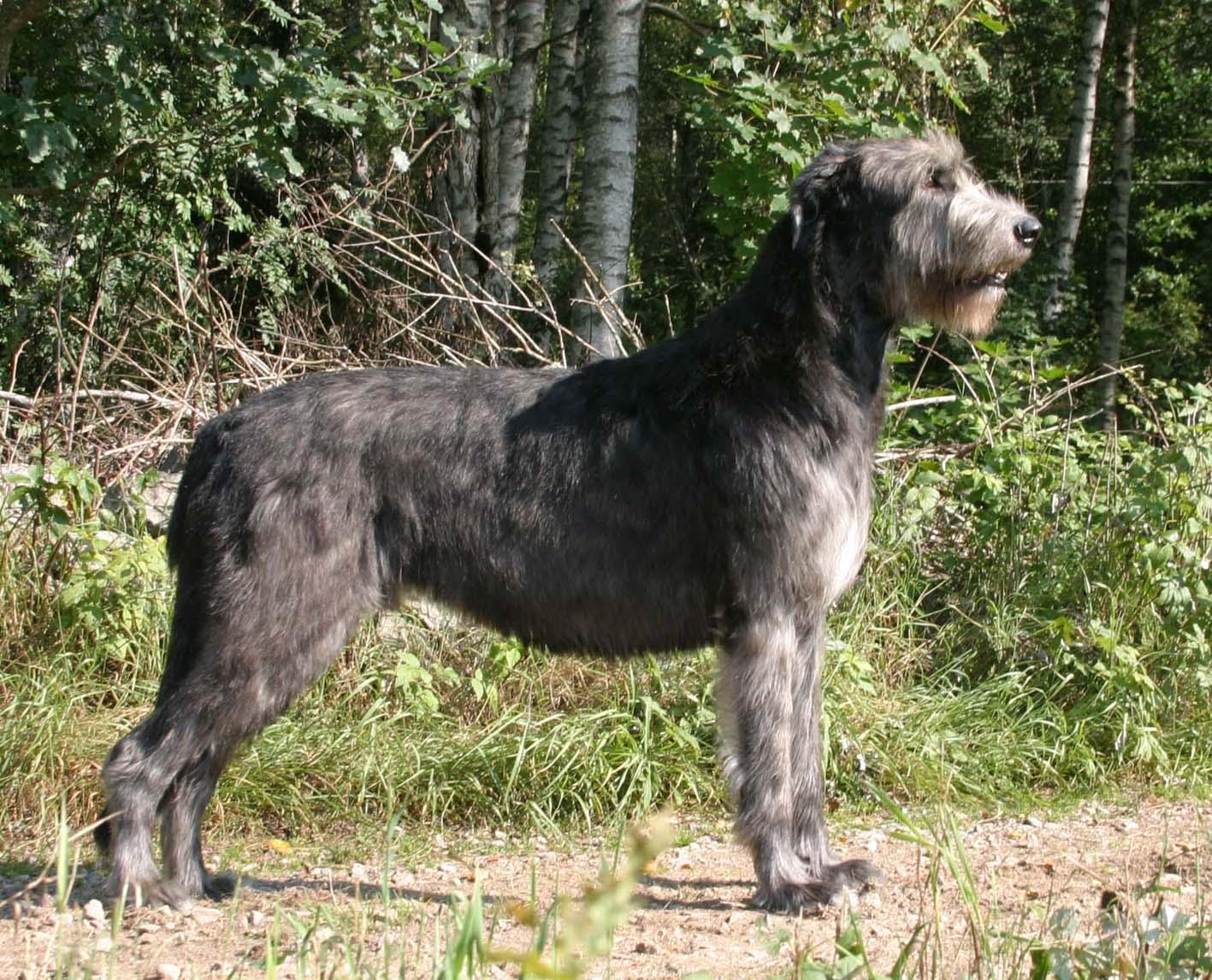 Irish Wolfhound Dog Show