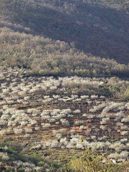 Cerezo en Flor. Guía Valle del Jerte. Tu Maleta.