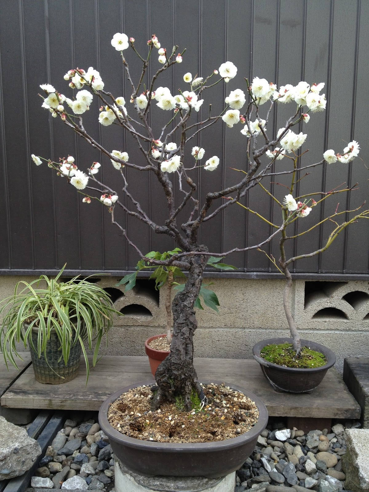 Marketing Japan First Plum Blossoms In Tokyo Feb 14 2013
