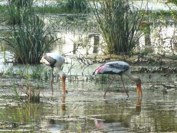 keoladeo parc national grue heron echassier oiseau marecage migration migrateur inde