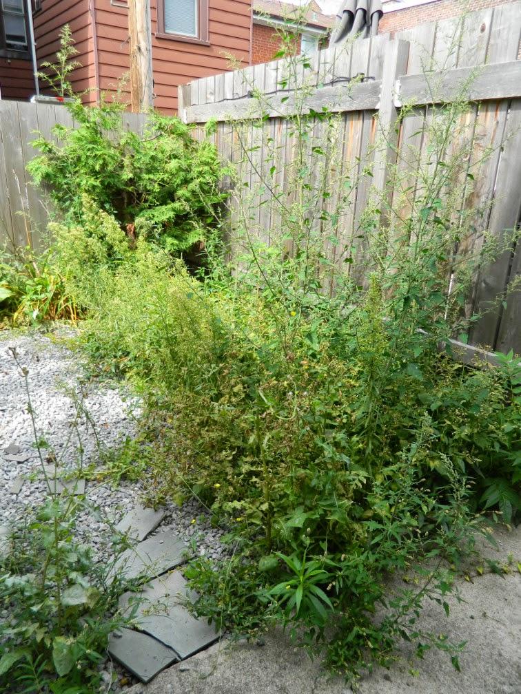 Brockton Village backyard garden cleanup Paul Jung Gardening Services Toronto before