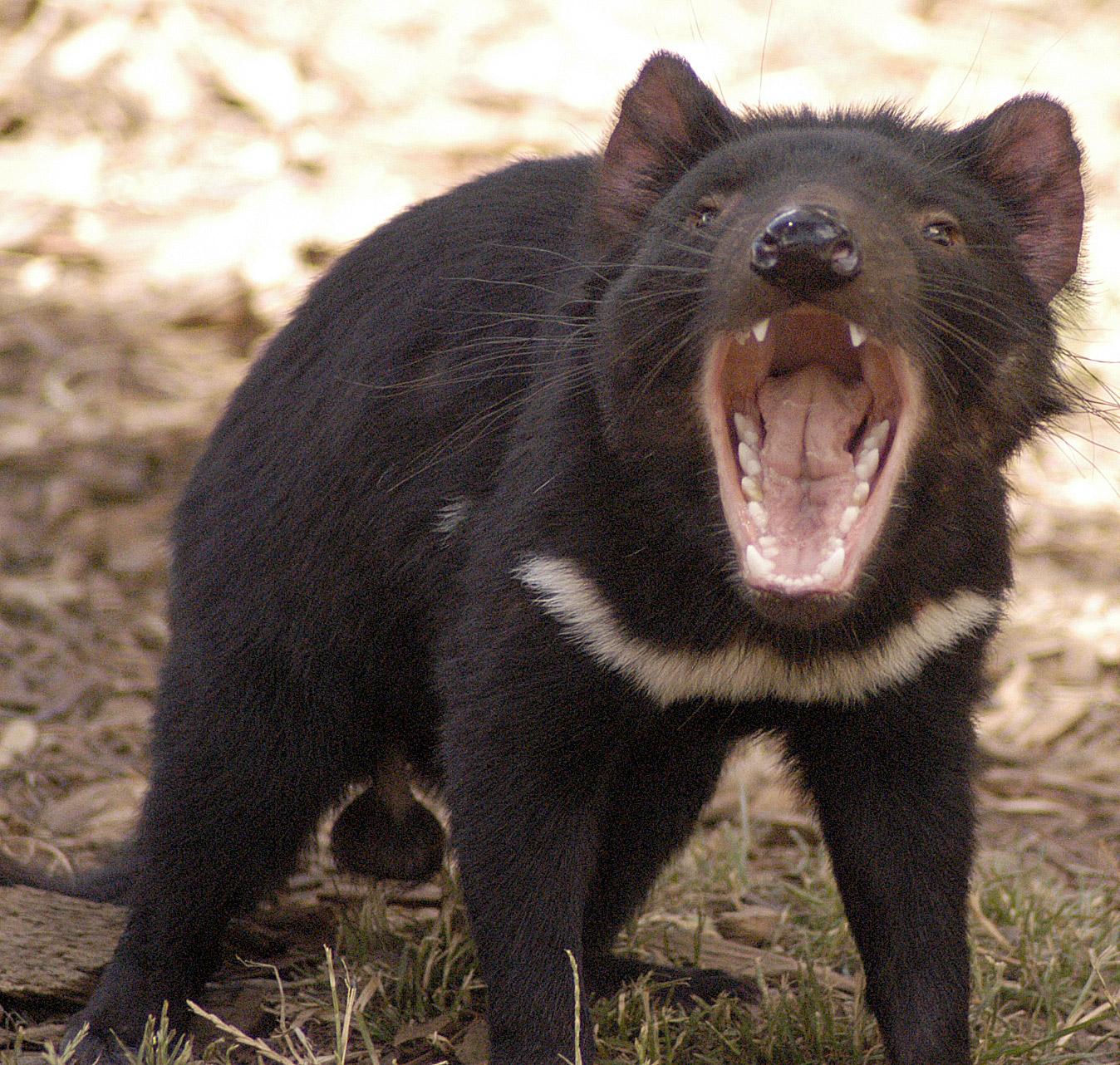 The tasmanian devil all amazing facts the wildlife - Tasmanian devil pics ...