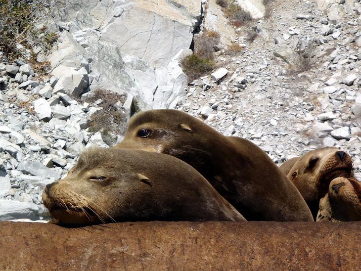 Cabo Sea Lions