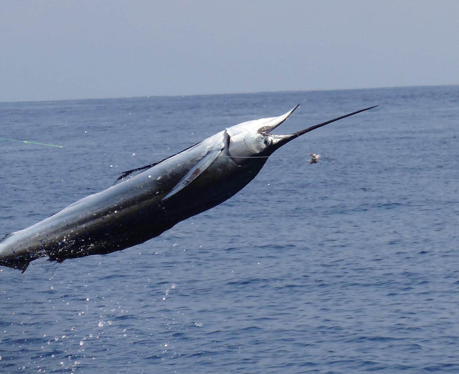 Mad marlin lodge sailfish marlin fishing charters for Marlin fishing charters