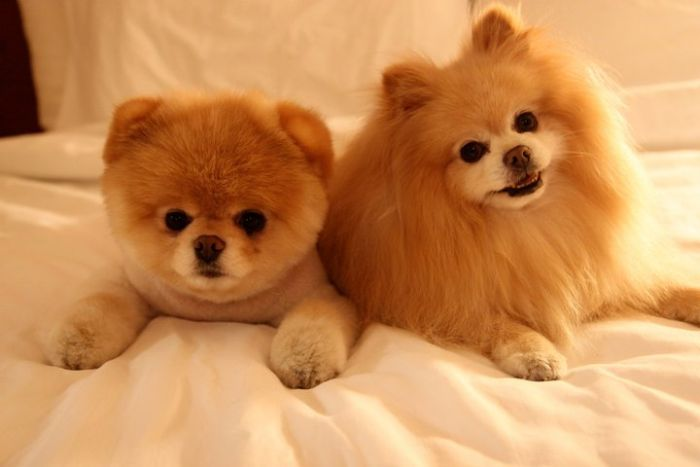 My Funny Beautiful Pomeranian Puppy Named Boo Pictures