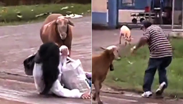 Captured from the video where the goat attacked random people.