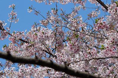 Cherry Blossoms, Tokyo 2015