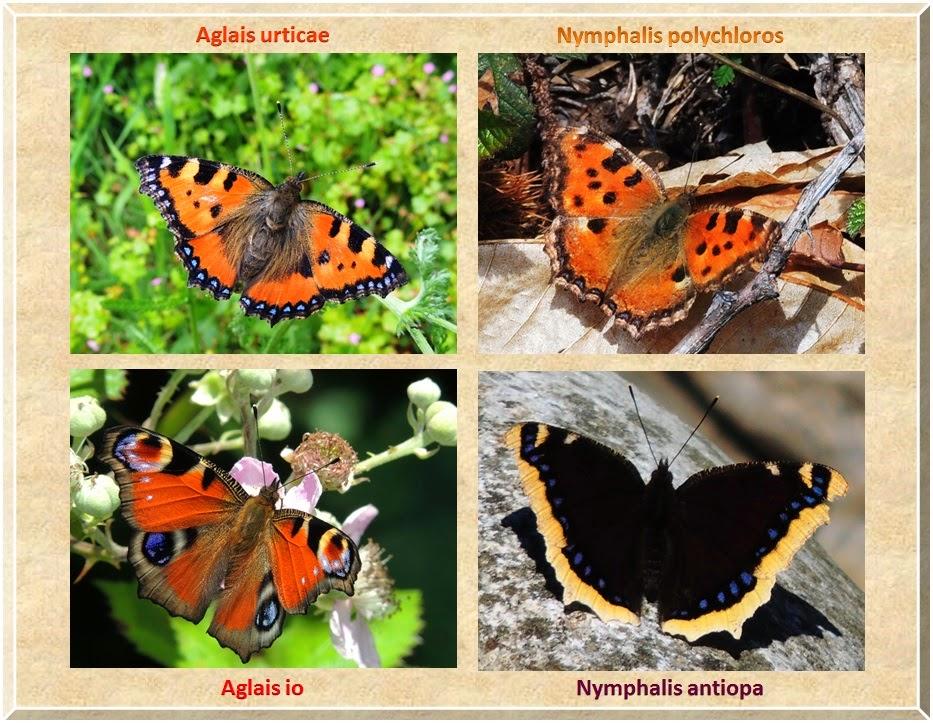 Anverso de Aglais urticae, Aglais io, Nymphalis polycloros y Nymphalis antiopa