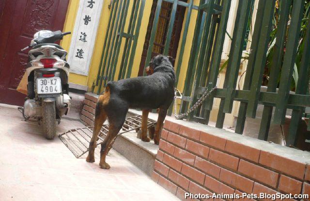 http://4.bp.blogspot.com/-KkcpFCfgcKw/TZ6S1wGMxbI/AAAAAAAAAjo/InajN6t9WJ4/s1600/Rottweiler%2Bdog%2Bpictures_0002.jpg