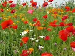 fleurs de papillons