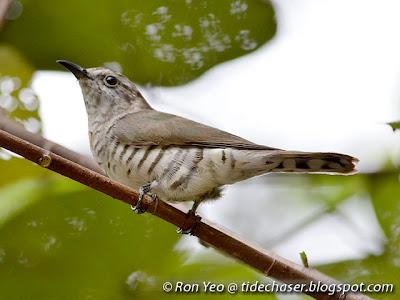 Little Bronze Cuckoo (Chrysococcyx minutillus)