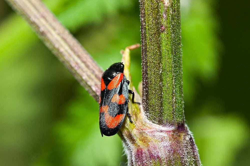 Red and Black Froghopper [Cercopis vulnerata] - Bradwell Village, Milton Keynes