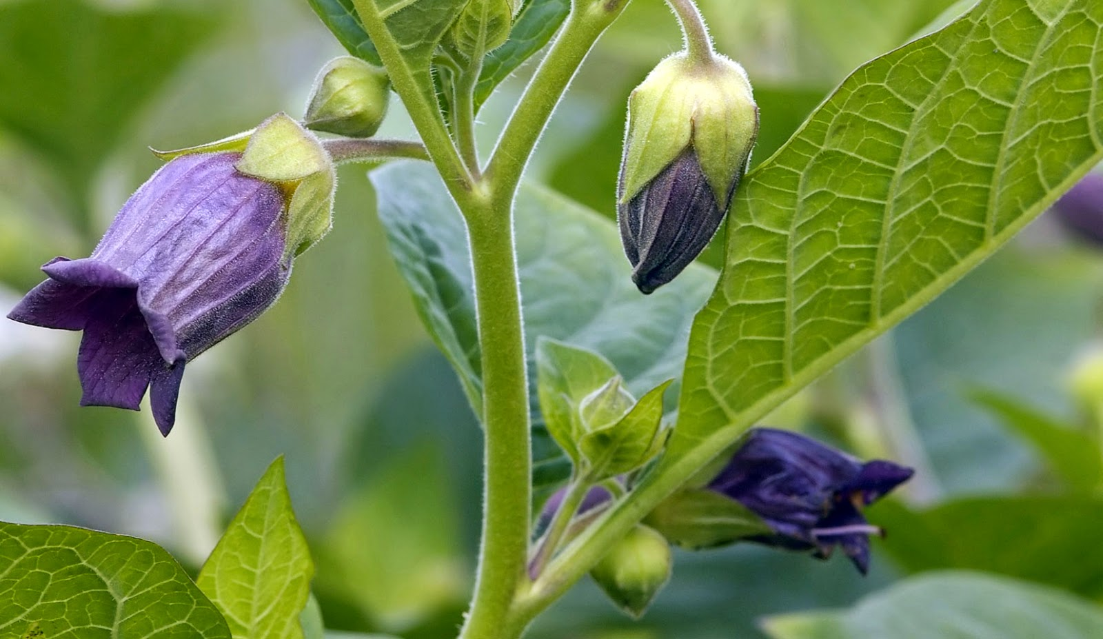 Belladonna (Atropa Belladonna) Overview, Health Benefits, Side effects