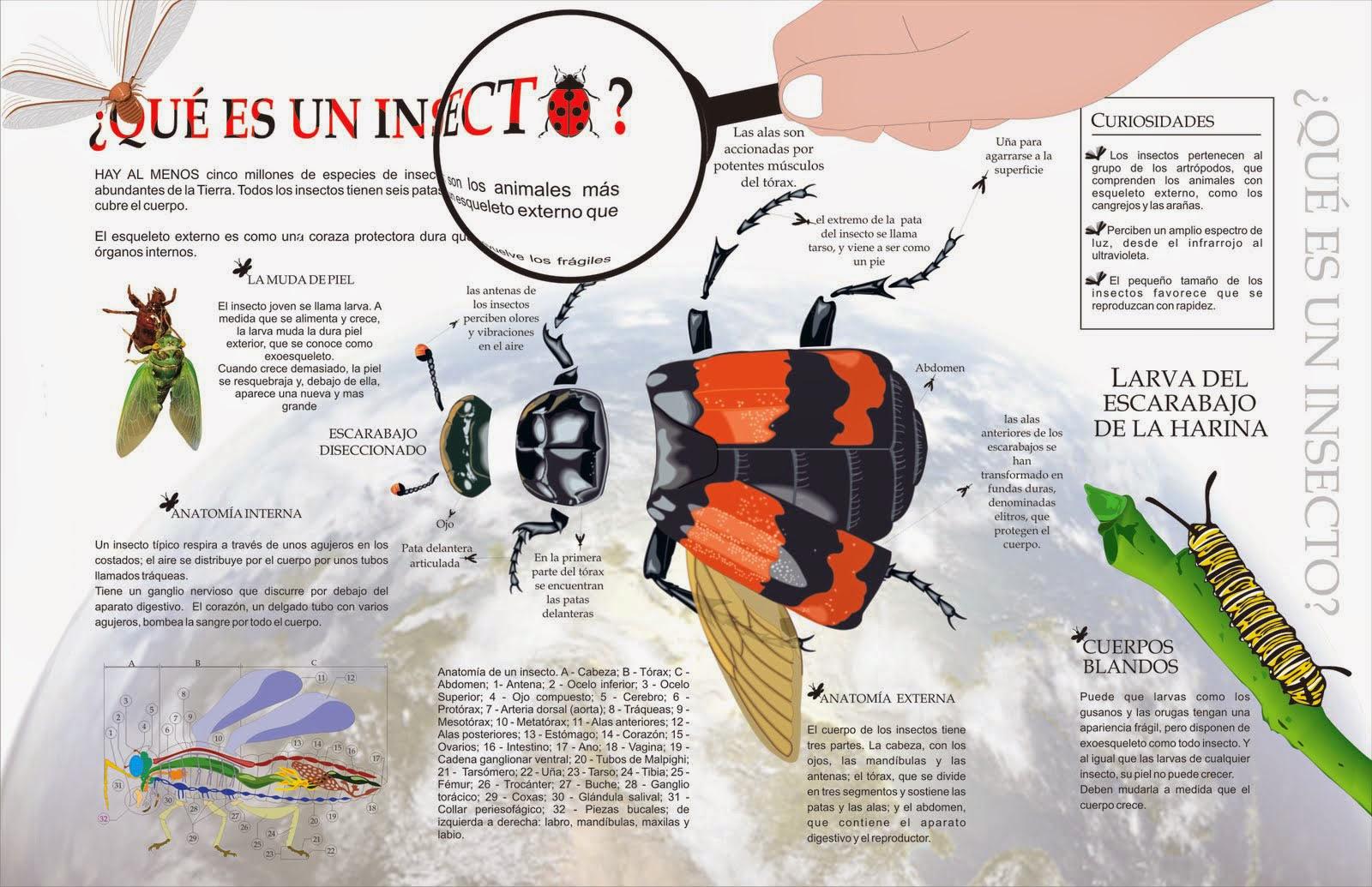 Falcón-voy: Insecto: del latín \'in-sectum\', (cortado) en-segmentos ...