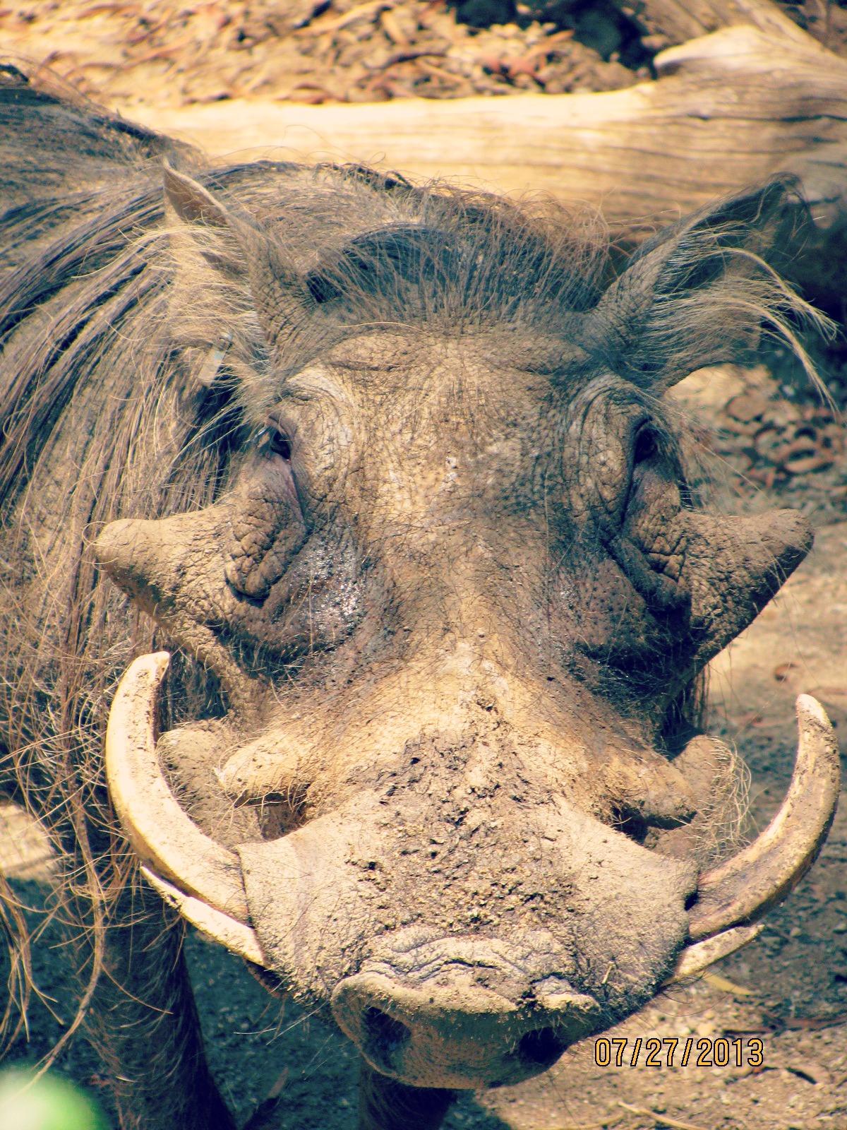 San Diego Safari Park // Warthog