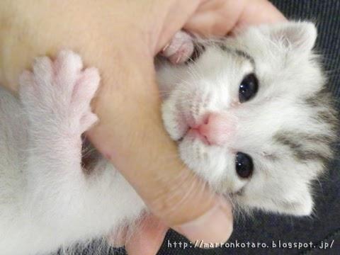 指にしがみつく仔猫の写真 横耳