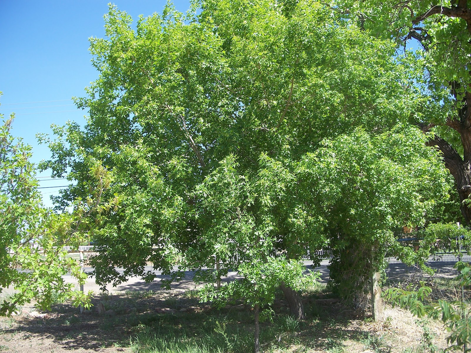 Trees that please nursery shade trees for small spaces for Trees for small places
