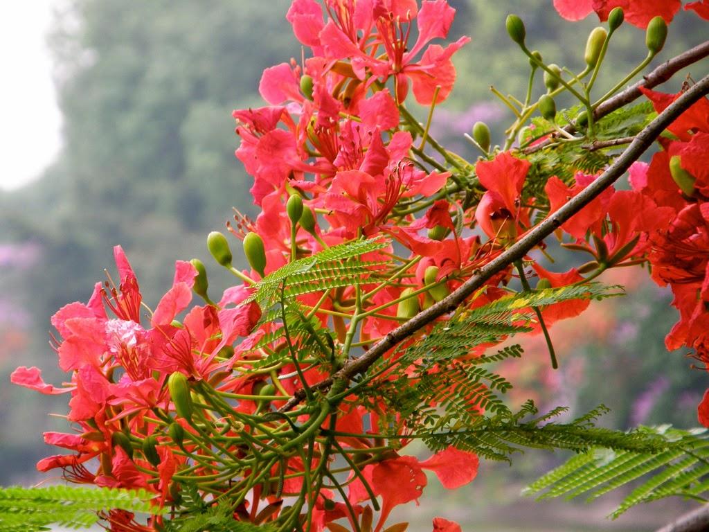 ảnh nền hoa phượng đỏ