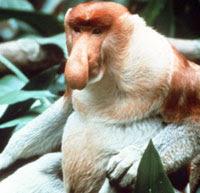 Động vật kì lạ (khỉ vòi)