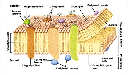 Biologi topi biru membran sel gambar struktur membran sel ccuart Choice Image